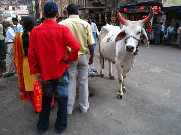 animals cows