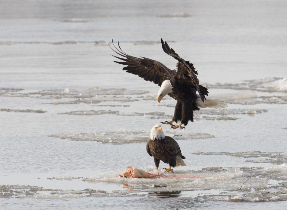 Mississippi Bald Eagle Family